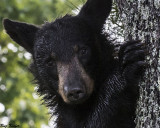 Young Dew Covered Bear