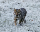 Bobcat on a Frosted Field