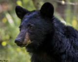 Bear in Cades Cove