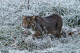 Bobcat on a Frosty Morning in December