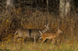 Late in the Year Fawn
