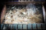 Tan Chau - Feeding the fish under the floorboards