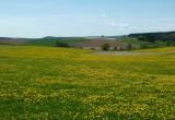 Woaw ! Avant Bastogne, les pissenlits sont en fleurs, les prairies ressemblent à des champs de colza !