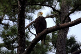 eagles_in_south_texas_2014