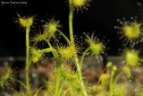 Drosera peltata ( golden green plants )