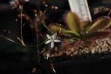Drosera prostratoscaposa