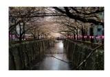 Cherry blossom, Nakameguro