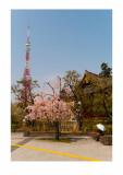 Cherry blossom, Tokyo Tower