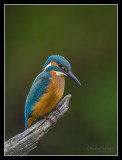 Kingfisher, juvenile