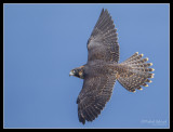 Peregrine Fly-by