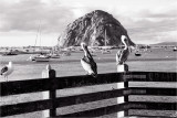 Morro Rock and Friends...