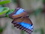 blue_morpho