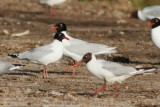 Adult and a 2nd calendar year from Mediterranean Gull - Larus melanocephalus - Gaviota cabecinegra - Gavina Capnegra