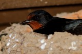 Oreneta Vulgar - Golondrina comun - Barn Swallow