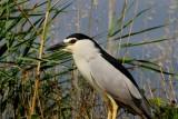 Night Heron - Nicticorax nicticorax - Martinete - Martinet de Nit - Doral