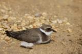 Young Ringed Plover - Charadrius hiaticula - Chorlitejo grande - Corriol gros