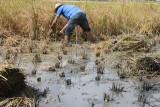 Rice harvest by hand - Segant arròs a mans