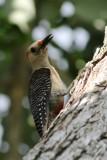 Goldenfronted woodpecker - Centurus aurifrons