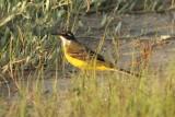 Yellow Wagtail spp - Motacilla flava - Cuereta Groga - Lavandera boyera