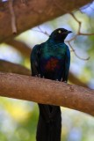 Long tail starling