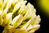 Fleurs de trèfle