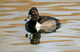 Ring-necked Duck, Dead Horse Ranch State Park, AZ