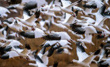 Snow Goose blast-off, Bosque del Apache National Wildlife Refuge, Socorro, NM