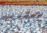 Snow Geese and Sandhill Cranes, Bosque del Apache National Wildlife Refuge, Socorro, NM