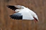 Snow Goose, Bosque del Apache National Wildlife Refuge, Socorro, NM