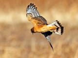 Northern Harrier Hawk hunting, Bosque del Apache National Wildlife Refuge, Socorro, NM