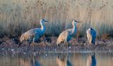 Sandhill Cranes on a pond, Bosque del Apache National Wildlife Refuge, Socorro, NM
