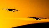 Sandhill Cranes, Bosque del Apache National Wildlife Refuge, Socorro, NM