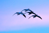 Snow Geese after sunset, Bosque del Apache National Wildlife Refuge, Socorro, NM