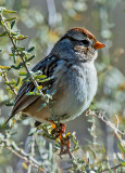 Chipping Sparrow, Bosque del Apache National Wildlife Refuge, Socorro, NM