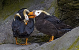 Tuffted Puffins