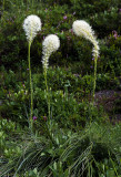 Beargrass, Mt. Rainier National Park, WA