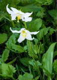 Avalanche Lilies, Mt. Ranier National Park, WA