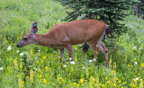 Black-tailed deer, Mt. Rainier National Park, WA