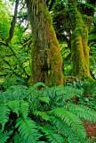Hoh Rainforest, Olympic National Park, WA