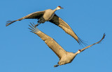 Sandhill Cranes, Bosque del Apache Wildlife Refuge, NM