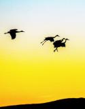 Sandhill Cranes settling in at sunset, Bosque del Apache National Wildlife Refuge, NM