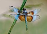 Widow Dragonfly, Bubbling Ponds, Sedona, AZ