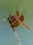 Flame Dragonfly, Bubbling Ponds, Sedona, AZ