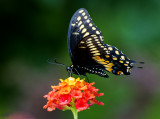 Black Swallowtail, Cottonwood, AZ