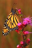 Monarch, Nachussa Grasslands, IL