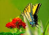 Two-tailed Swallowtail, Cottonwood, AZ
