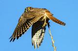 Kestral  leaving a perch
