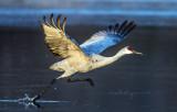 Sandhill Crane, Bosque del Apache National Wildlife Refuge, NM