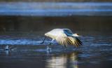 Sandhill Crane takeoff, Bosque del Apache National Wildlife Refuge, NM