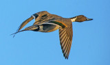 Pintail , Bosque del Apache National Wildlife Refuge, NM